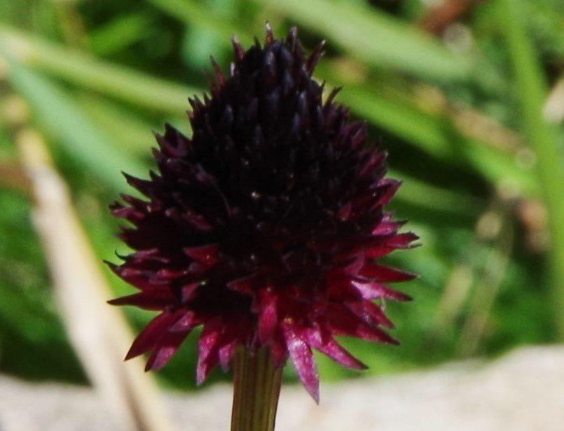 Orchis vanille, Nigritelle noire  Gymnadenia rhellicani