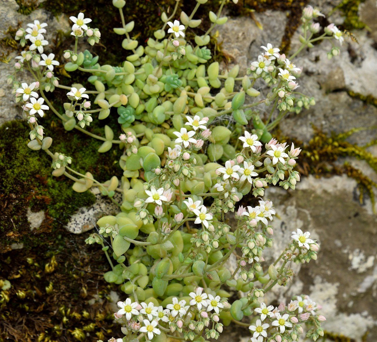 Sedum dasyphyllum, photo d'André.