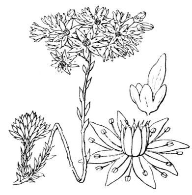 Crassulacée, Illustration de la Flore de Coste.