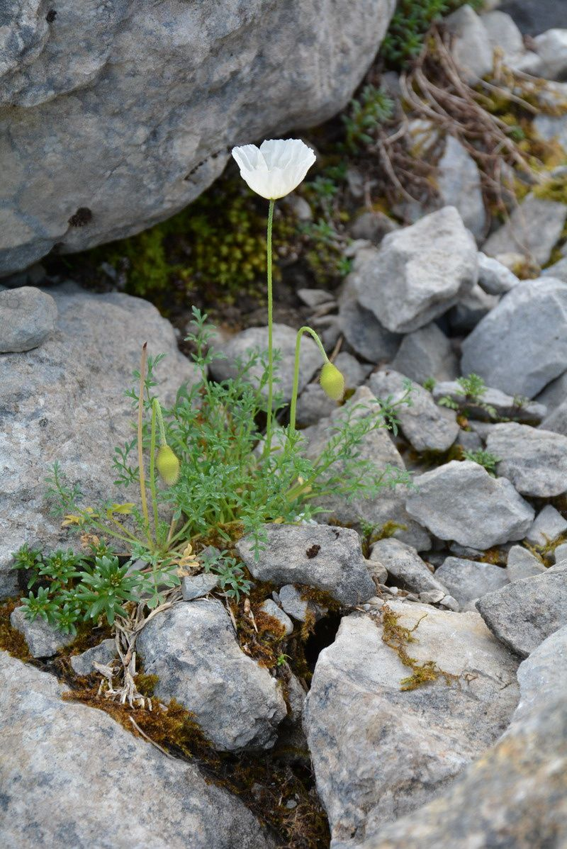 Papaver alpinum, photos de Jacques