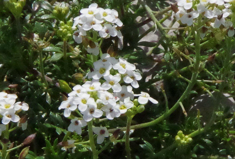 Pritzelago alpina ou Hutchinsia alpina, cresson de chamois,