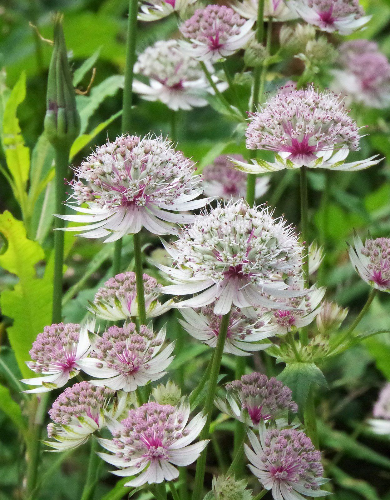 Astrantia major, la grande astrance,