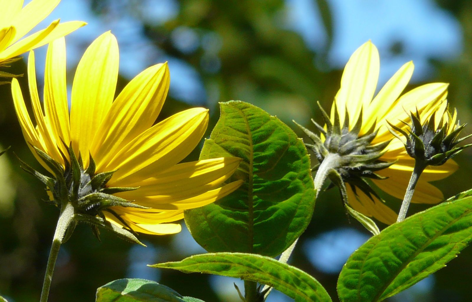 topinambours, Helianthus tuberosus, photos de Nicole