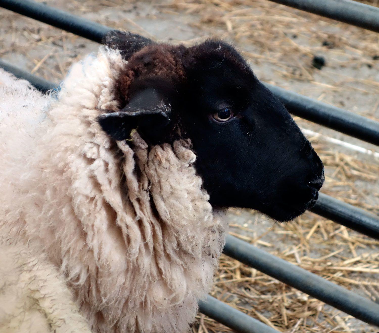 Moutons et  boeufs anglais