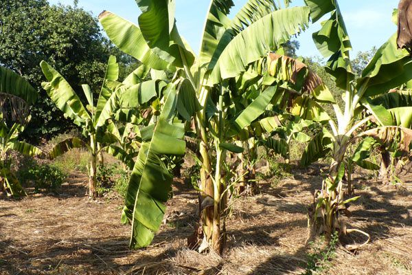 Les bananiers sont paillés pour limiter les besoins en arrosage