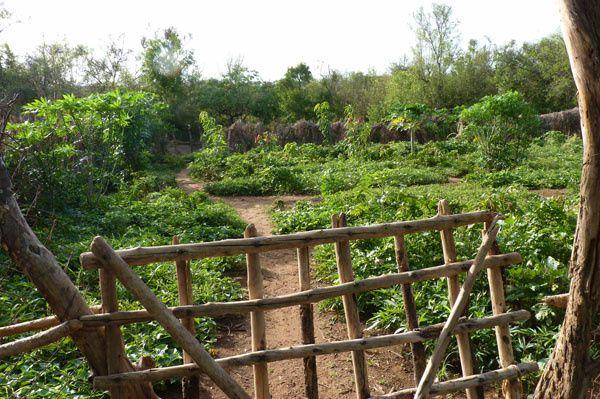 Le jardin des femmes, un bel exemple de patates douces en couvre-sol associé au manioc... un bon début pour un jardin permacole ! ;-)