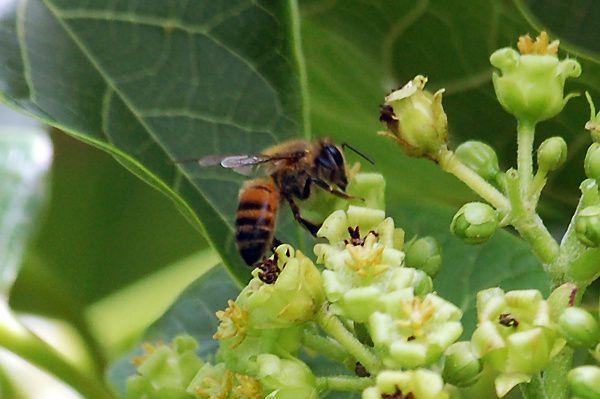 Abeille collectant du nectar sur une fleur de Jatropha curcas
