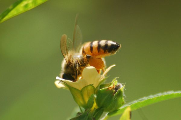 Abeille collectant du pollen sur une fleur de Sida acuta