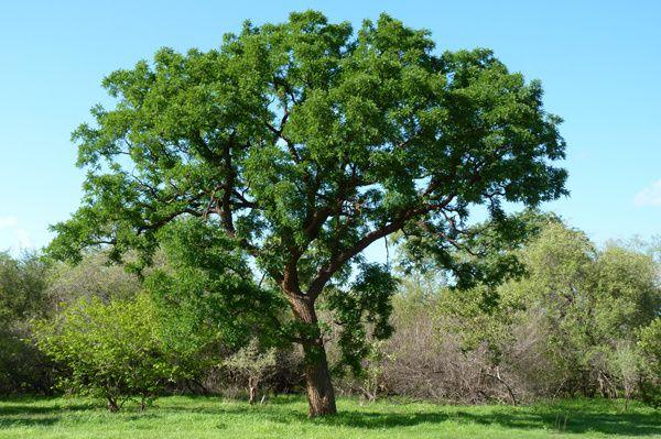Cordyla pinnata (Fr. : Poirier du Cayor ; En. : Bush mango ; Wolof : Dimb)
