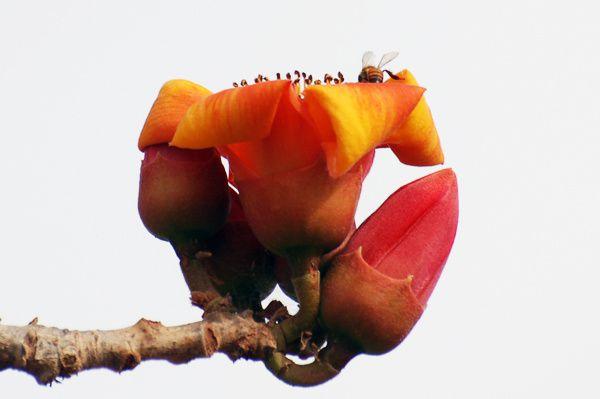 A peine posée, l'abeille plonge au coeur de la fleur... collecte de nectar en perspective.