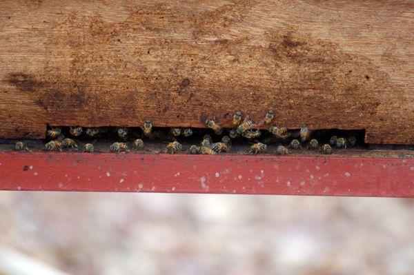 Ma ruche à Koussan, qui a mis plusieurs années avant d'être peuplée, a résisté à ma récolte de novembre.