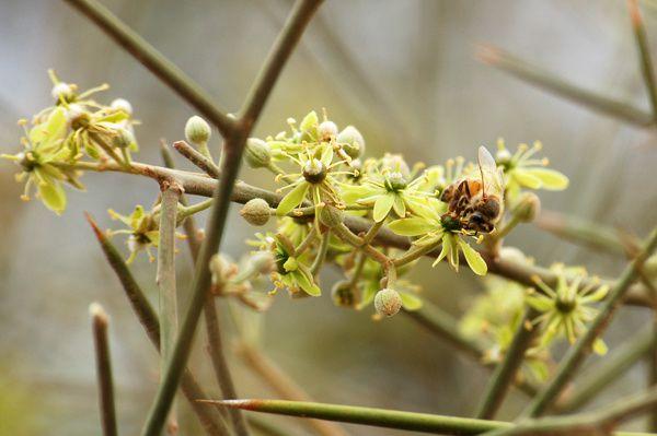 Balanites aegyptiaca (Fr: Dattier du désert ou Dattier du Sénégal ; En : Desert date)