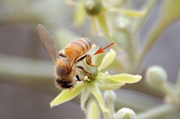 Petite pelote de pollen observée sur plusieurs abeilles. Ces dernières semblent pourtant collecter le nectar... mystère...