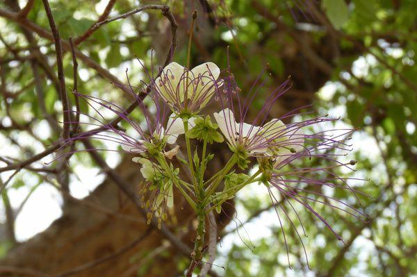 Les fleurs sont magnifiques, avec leur longues étamines violettes, et sentent délicieusement bon !