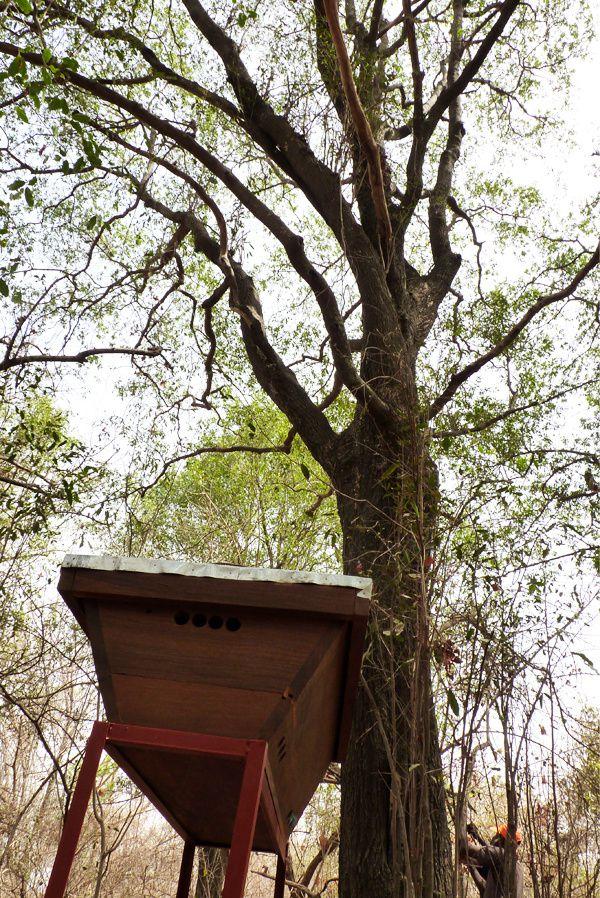 J'ai placé la petite famille sous un beau Diospyros mespiliformis, un très bel arbre au tronc noir et qui donne des fruits comme des noisettes. J'ai lu que les éléphants apprécient ses feuilles, j'espère que vous aimerez aussi !