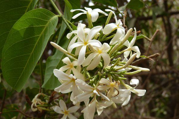 Le Saba senegalensis fleurit tout au long de l'année. Les fleurs sont citées comme mellifères, mais je n'ai jamais vu mes abeilles les butiner. D'ailleurs, la forme des fleurs ne semble pas favorable aux abeilles.