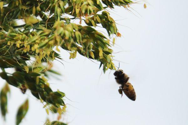 Abeilles collectant du pollen de Sorgho.