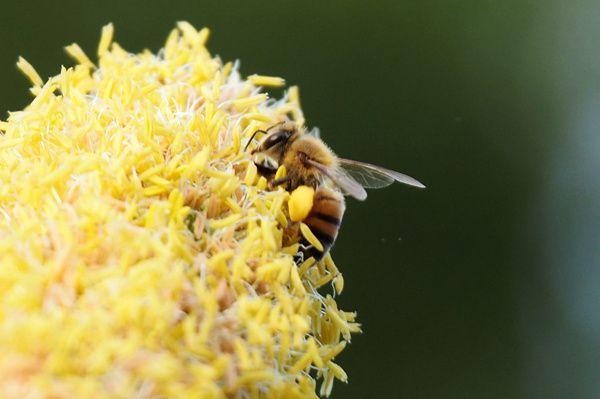 Carnet apicole : les cultures hivernales