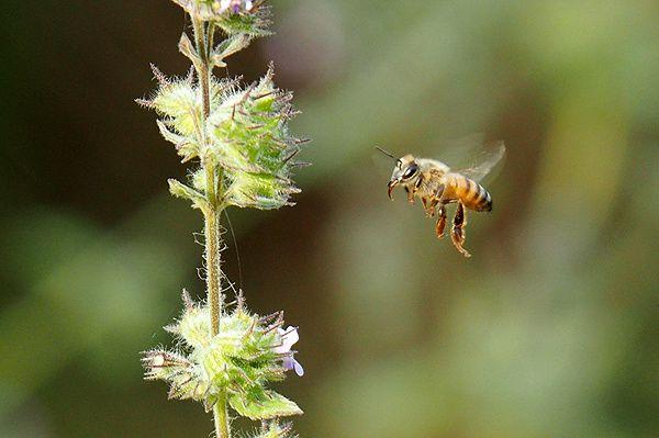 Les abeilles ne rentrent même pas leur langue entre deux fleurs !