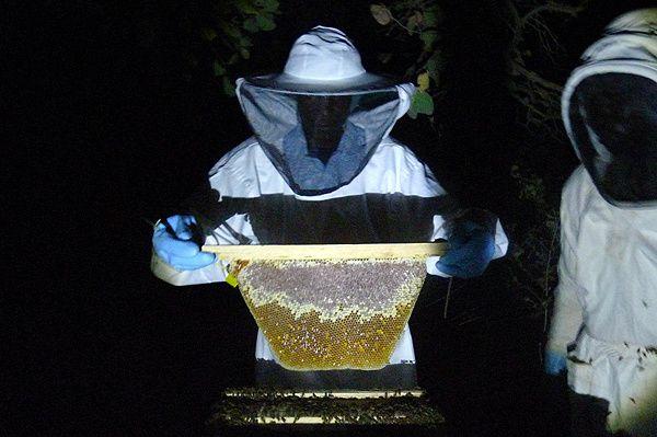 Quelques rayons plus loin, Soumaré soulève un rayon magnifique : miel operculé et pollen.