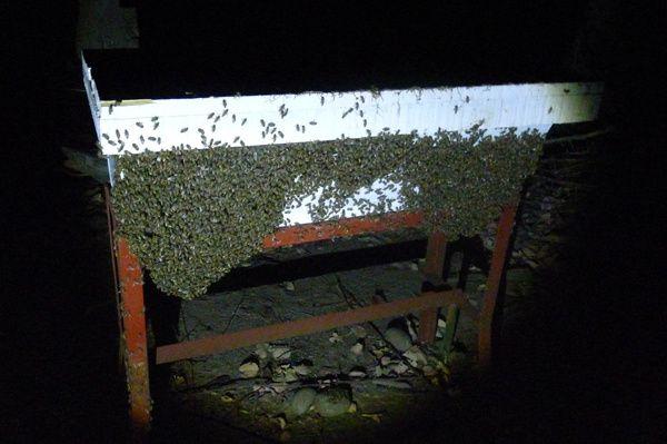 En refermant la ruche, les stagiaires s'aperçoivent que toutes les abeilles sont dehors... Même pas peur !