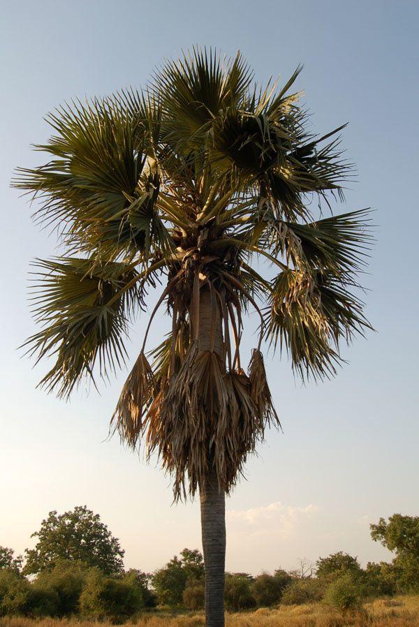 Palmier rônier (Borassus sp.). Lorsque les palmiers sont morts, ils perdent leurs feuilles et on peut récupérer le stipe (tronc) pour le découper en longues poutres. Ces poutres sont imputrescibles, résistantes aux termites et peuvent donc tenir des dizaines d'années !