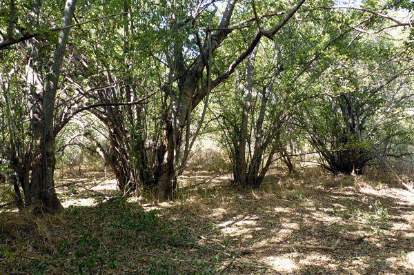Le Mitragyna inermis est un arbre qui pousse au bord des mares et des rivières, en produisant naturellement de longs rejets bien droits. Son bois est dur mais souple une fois sec, il est aussi résistant aux termites.