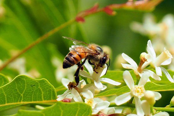 Abeille collectant le nectar du Neem (Azadirachta indica), arbre à ombre planté dans tous les villages.