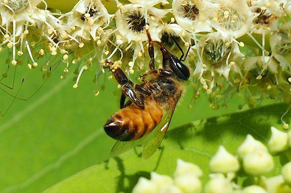 Carnet apicole du mois de juillet (2)