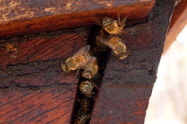 Et voilà la preuve : les abeilles africaines propolisent bien ! Il reste à observer à quelle saison, en quelle quantité, et comment diable récolter la propolis sur des ruches kenyanes...