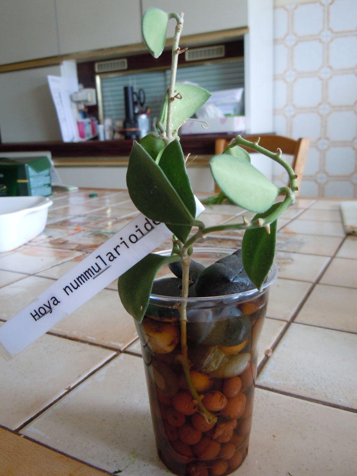 Hoya nummularioides GPS  bouture reçu de mon amie Janine Rejasse le 07 Août 2013