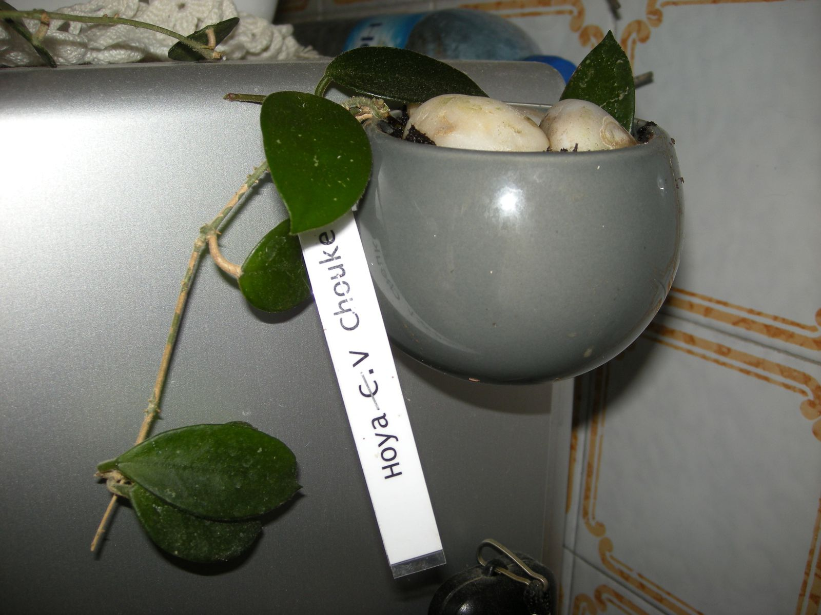 Hoya's plantation de trois de mes bébés
