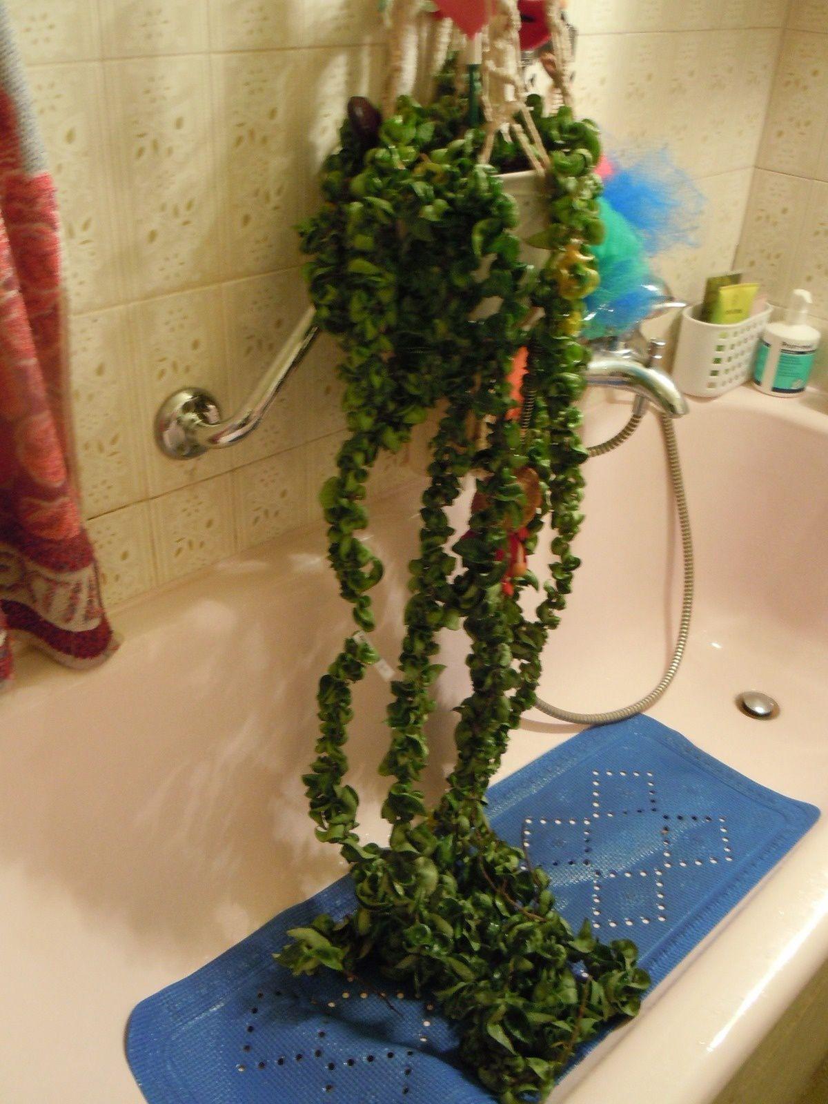 Hoya compacta sous la douche