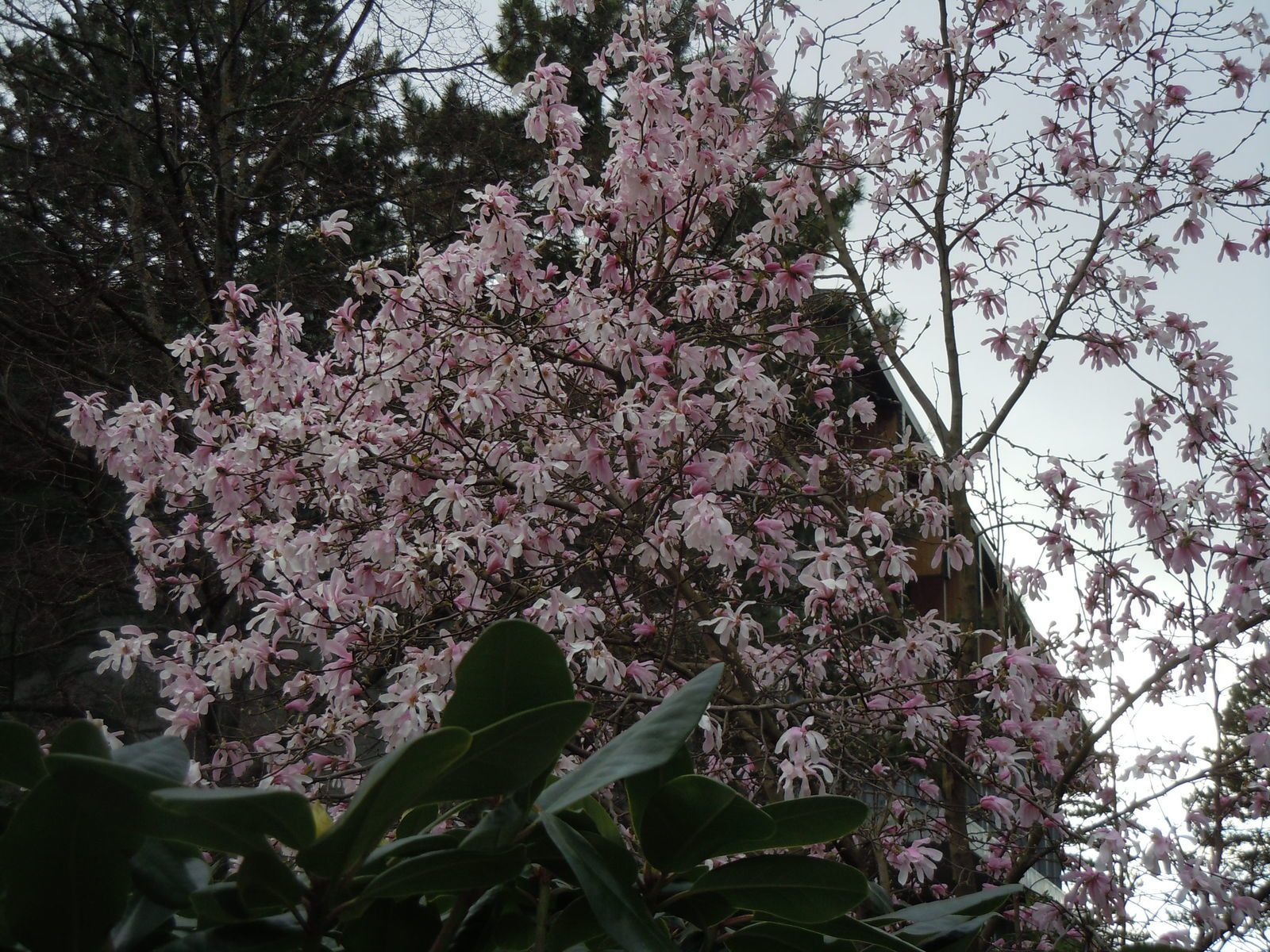Magnolia (j'adore cet arbre)