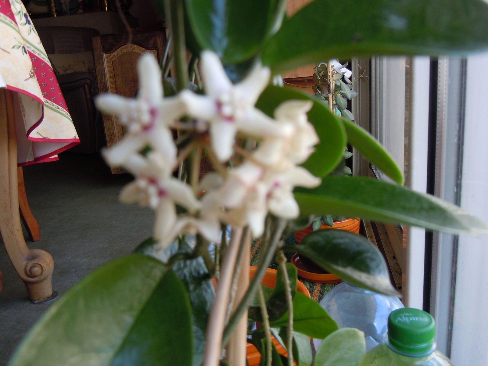 Hoya Australis évolution et découverte d'un deuxième pédoncule
