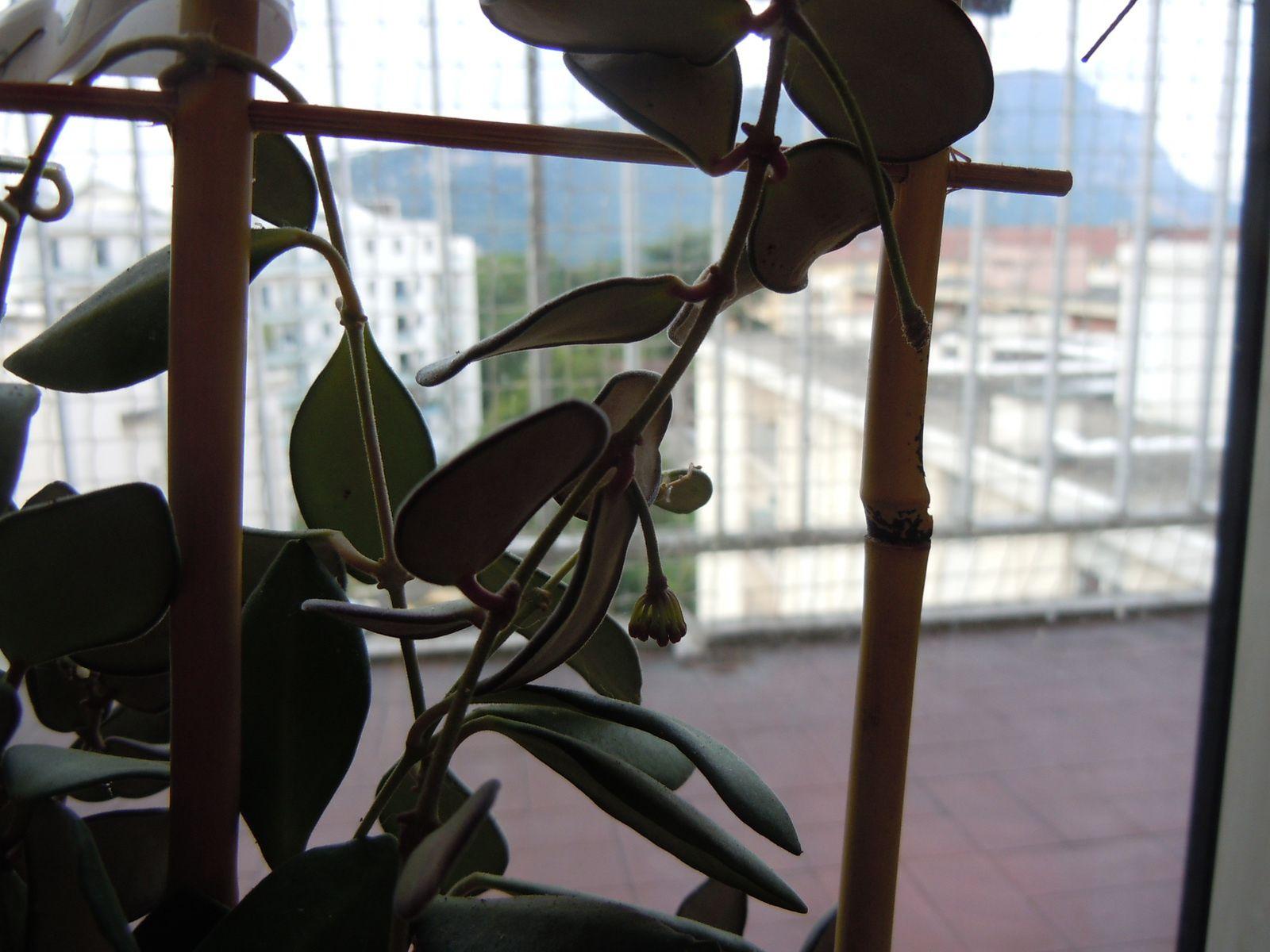 Hoya SP DS 70 (Nouvelle promesse de floraison)