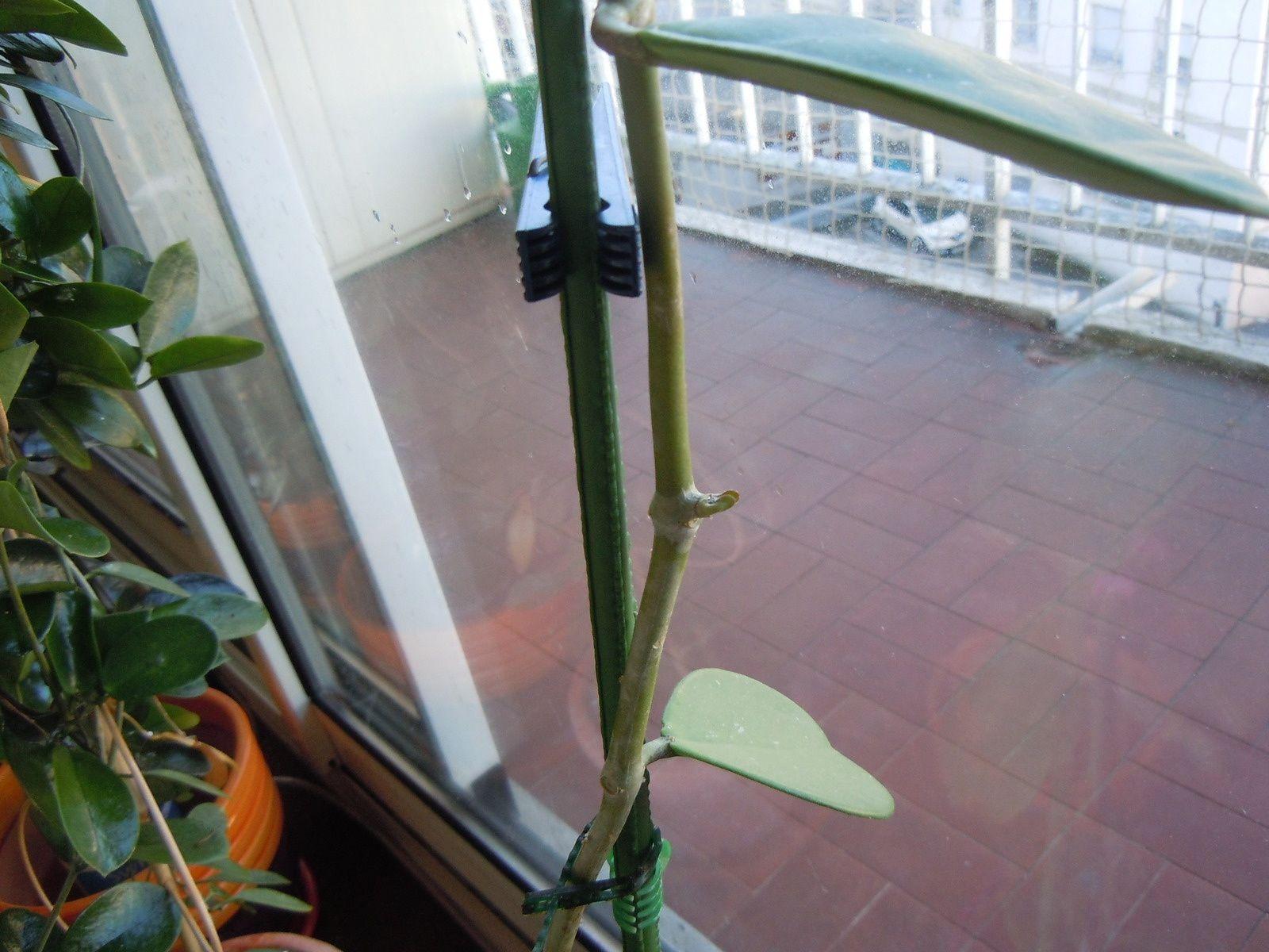 Deux nouvelles feuilles qui poussent plus bas