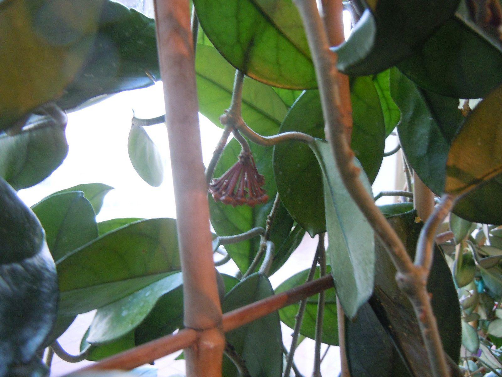 Hoya Carnosa (préparation de la première floraison...)