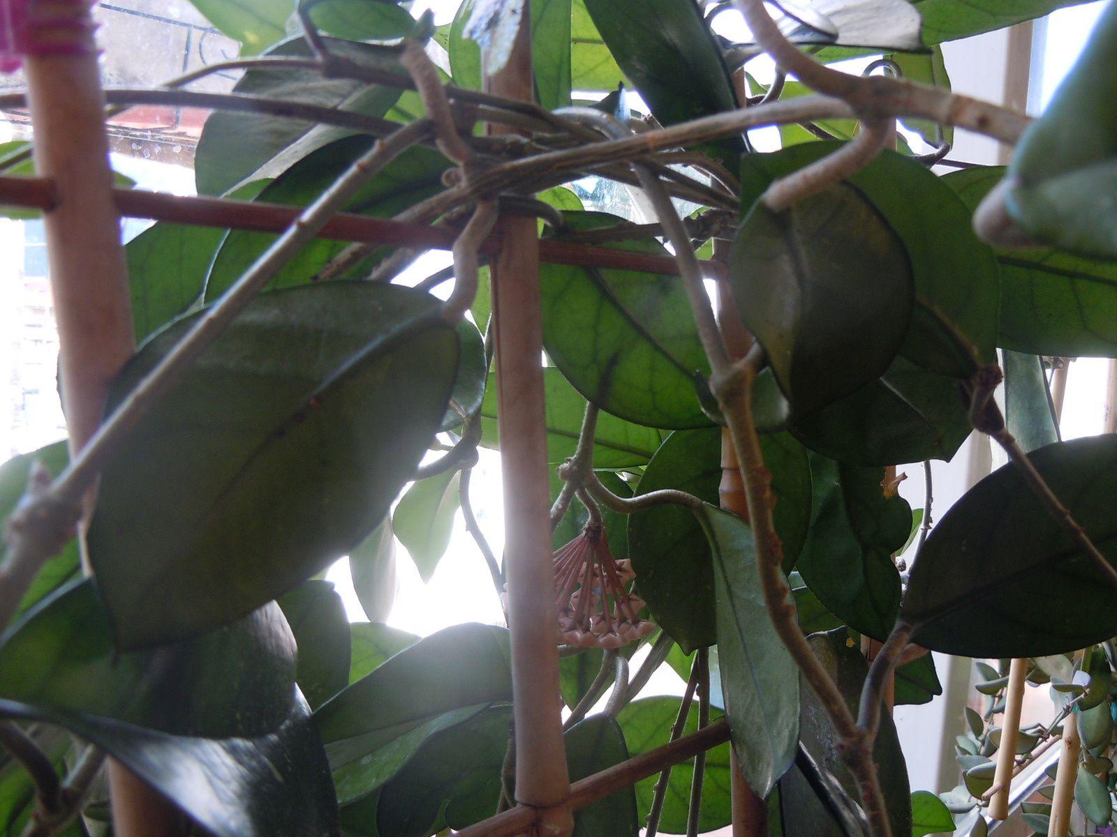 Hoya Carnosa évolution de la première fleur