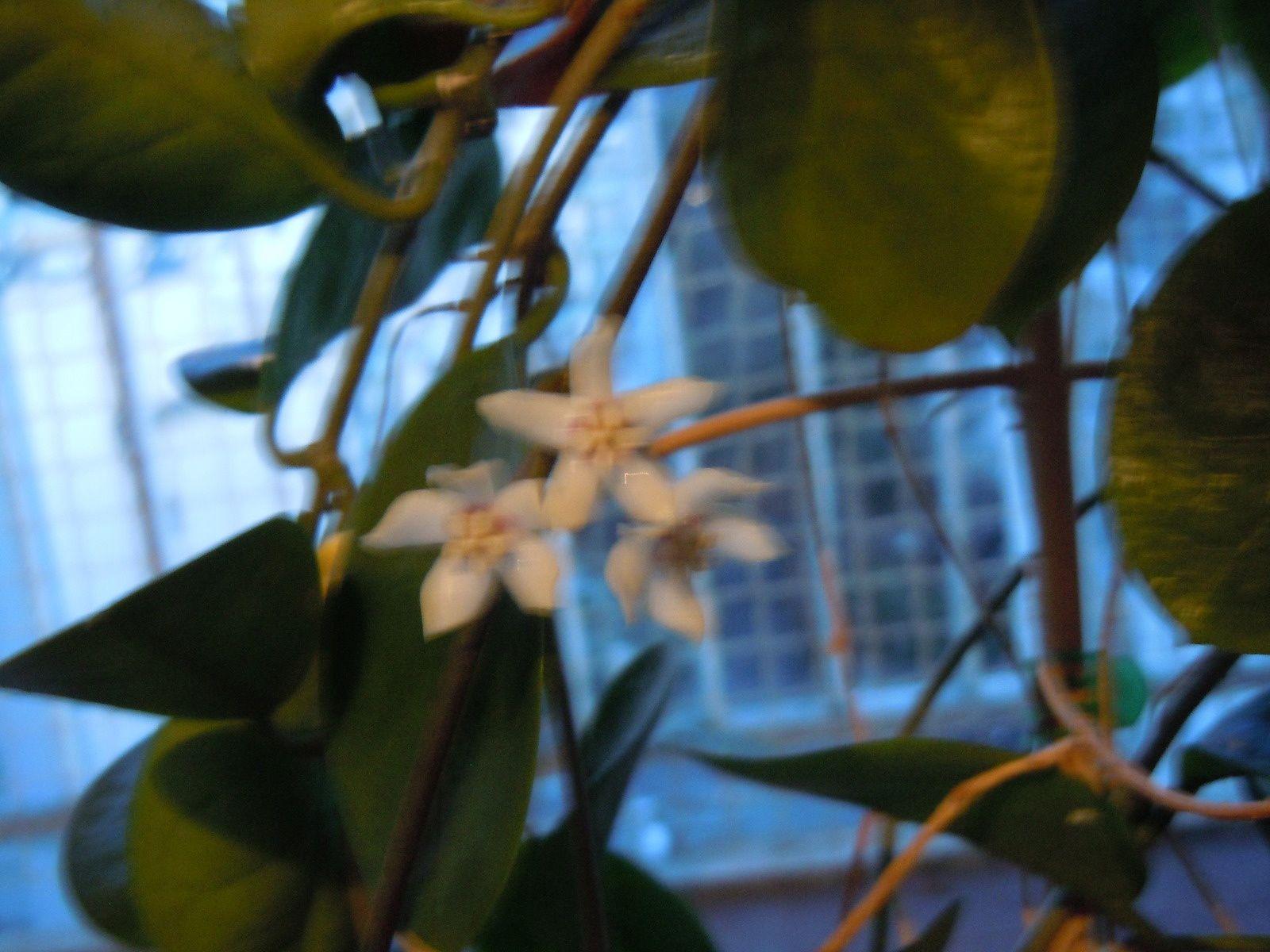 Hoya Australis première floraison