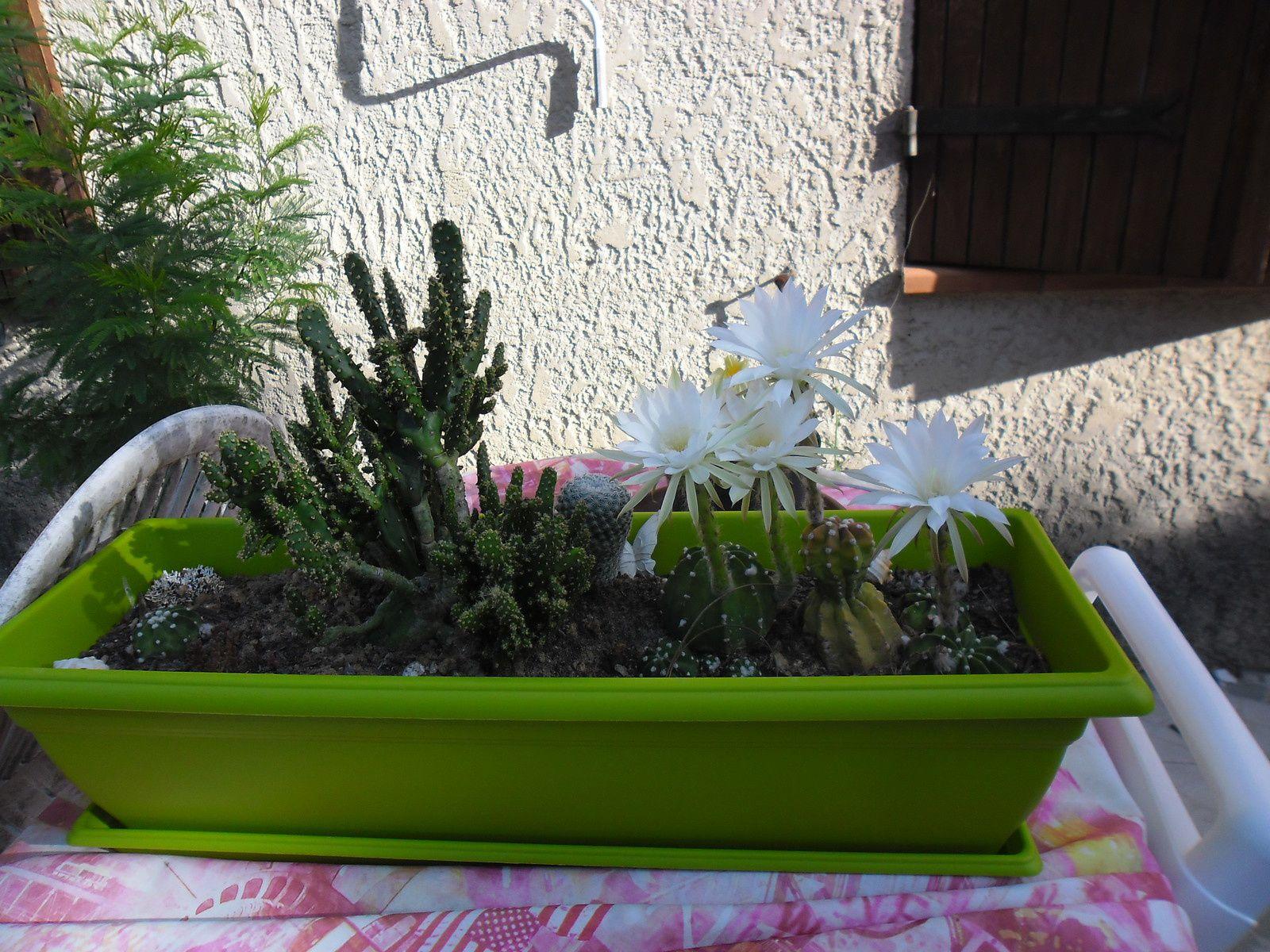 Encore des fleurs de cactus