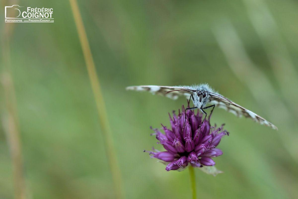 """""""Butterfly"""" - ©Frédéric Coignot - Tous droits réservés"""