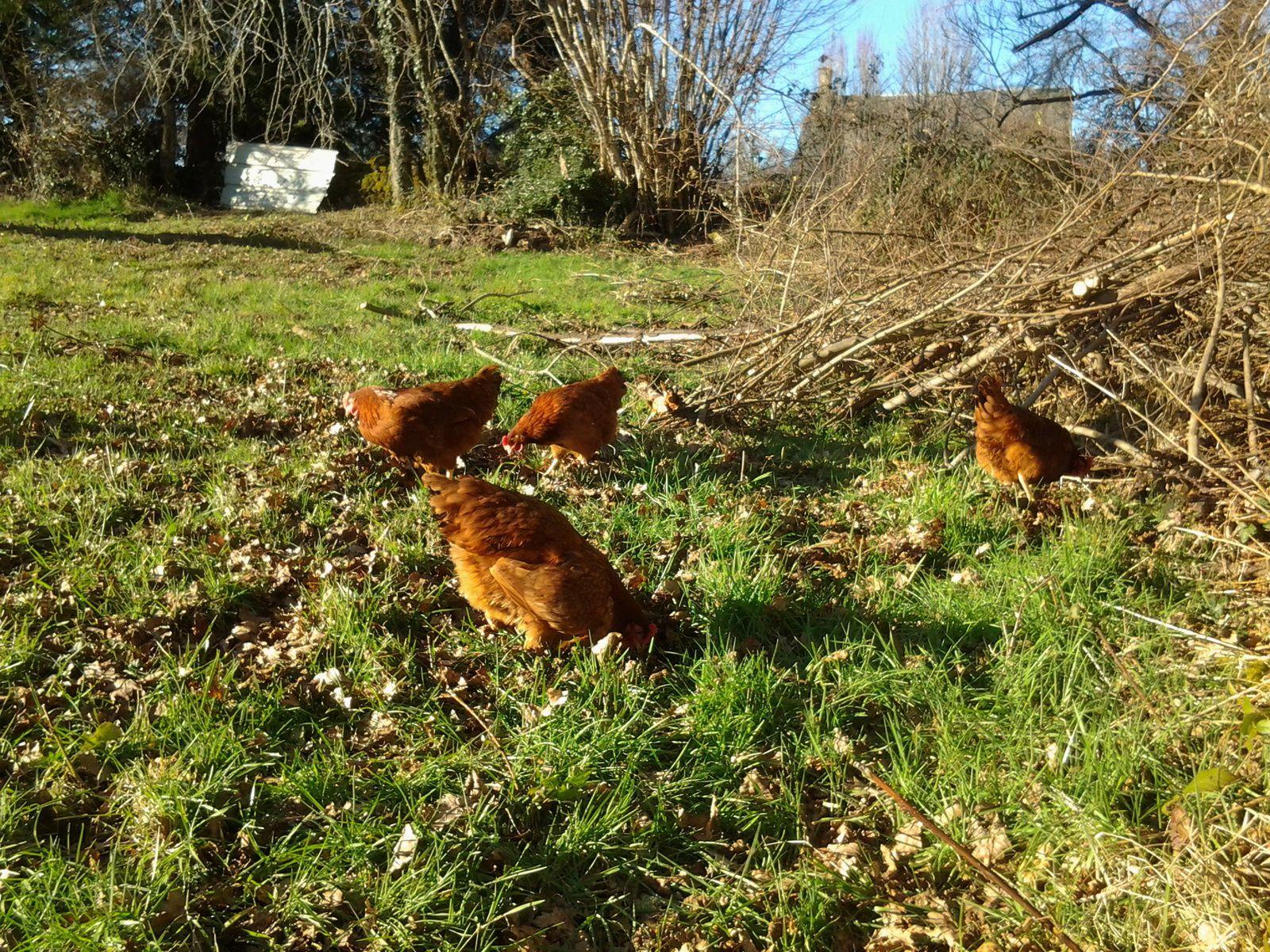 Nos poulettes aiment être libre. Elles sont toujours derrière la porte quand on arrive.