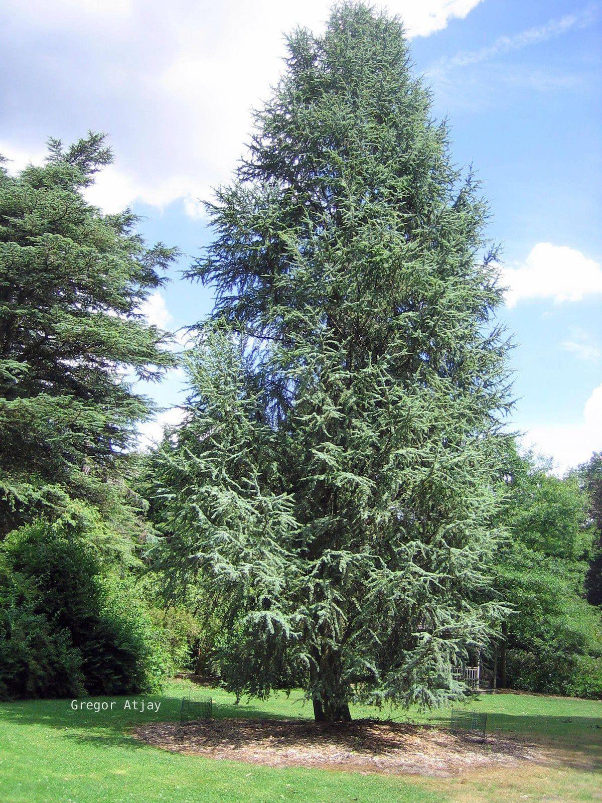 Deux espèces différentes d'arbres : le Charme (à gauche) A, le Cèdre (à droite) B, combien faudra-t-il de temps pour que leur hauteur atteigne un brise vue suffisant.