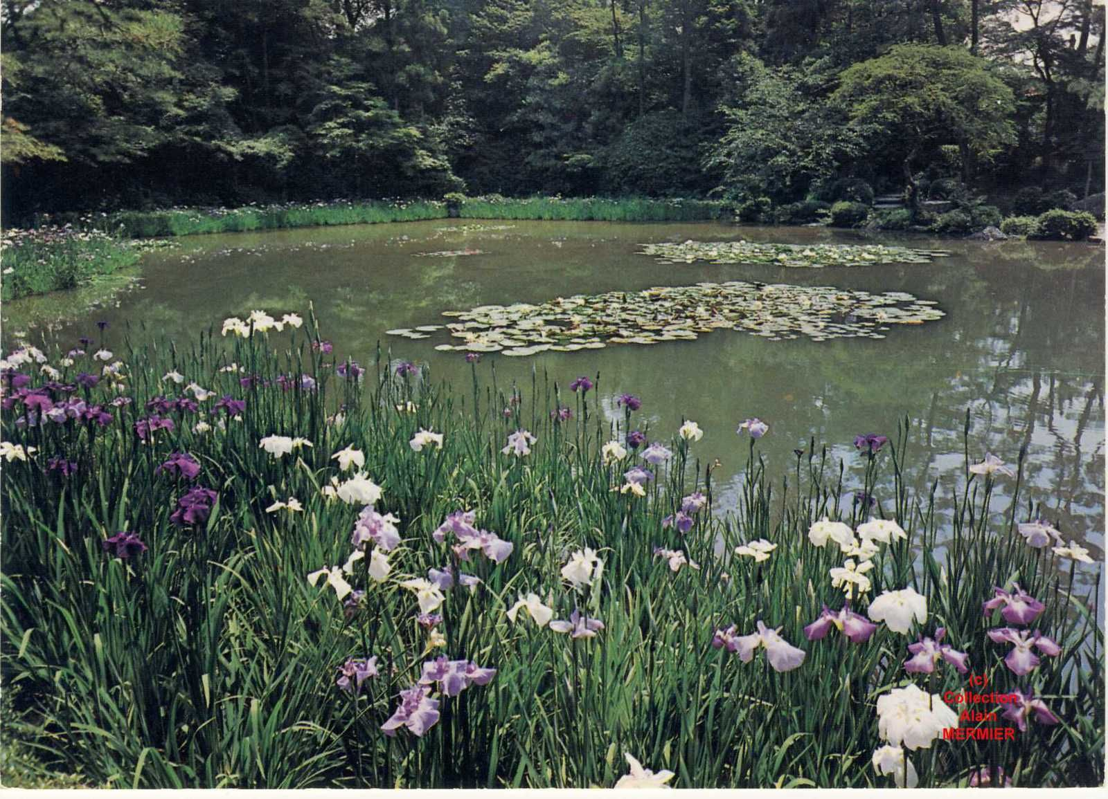 Iris -2190- CPM  The garden  Heian Shrine. Japon ?