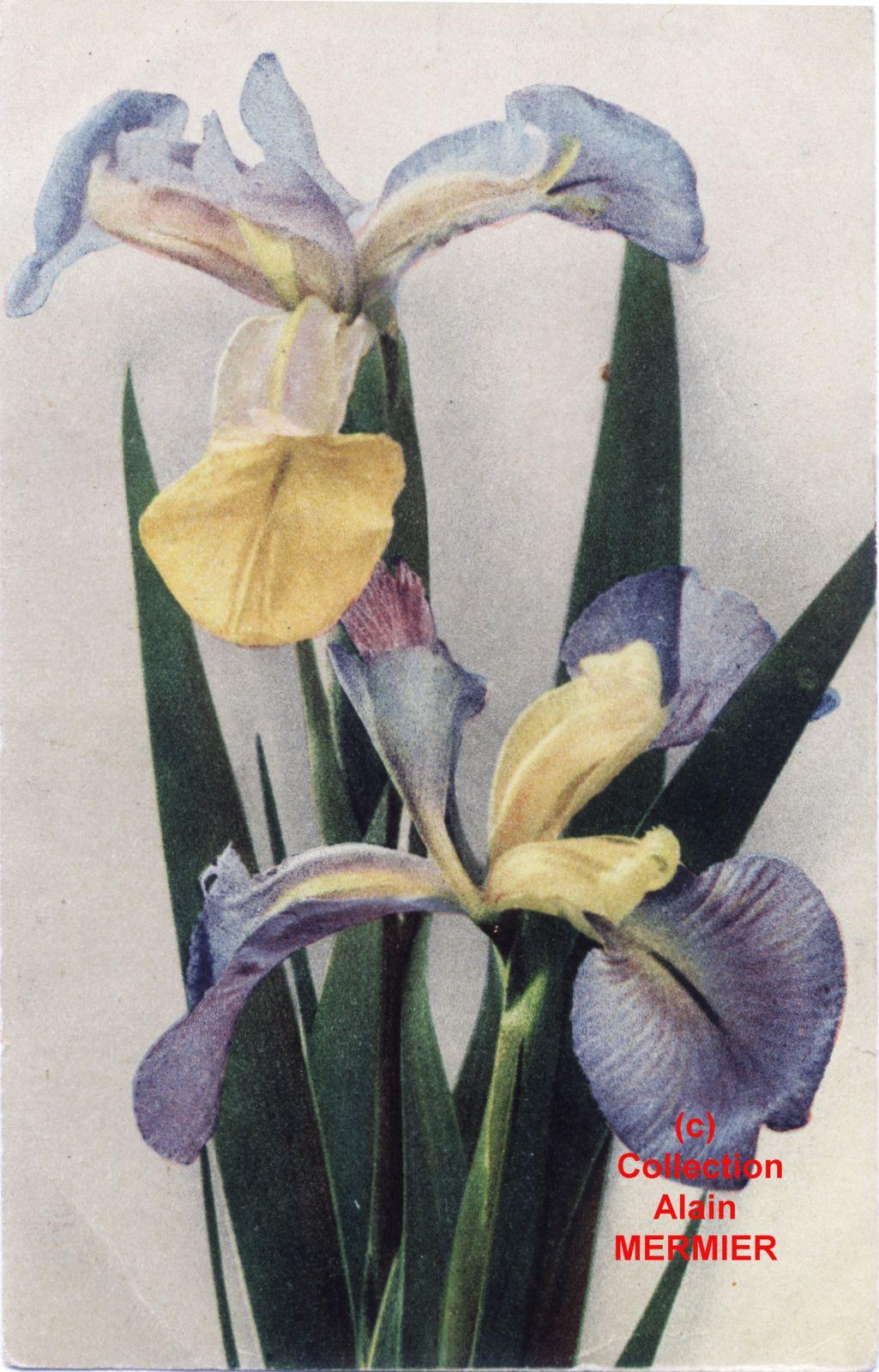 Iris -1916- Iris de Hollande. Dutch iris. 1921.