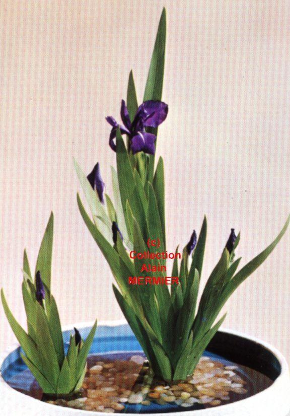 Iris -1877- CPM Ikebana von rier Ikeda. Vase. Bouquet. Allemagne.