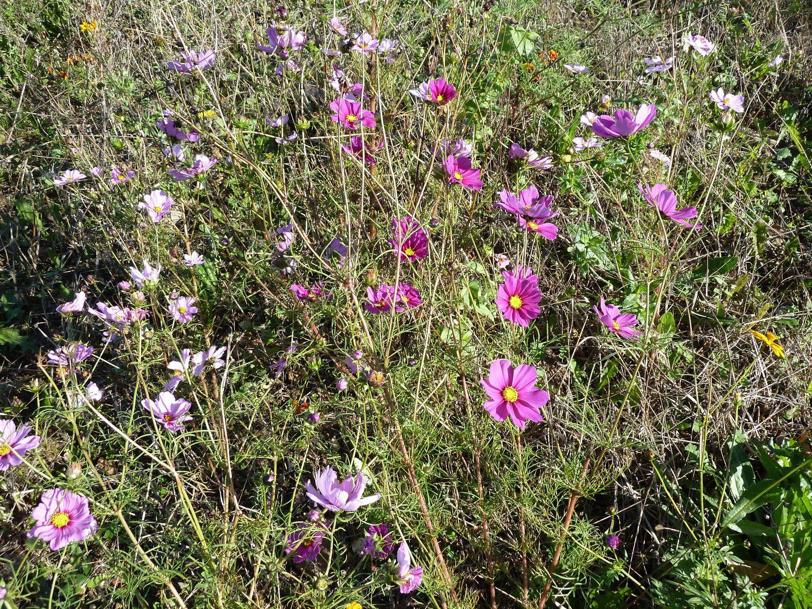 """Entre la """"Mare à Gonin"""" et """"l'Orme Argand"""" un champs parsemé de fleurs champêtres."""