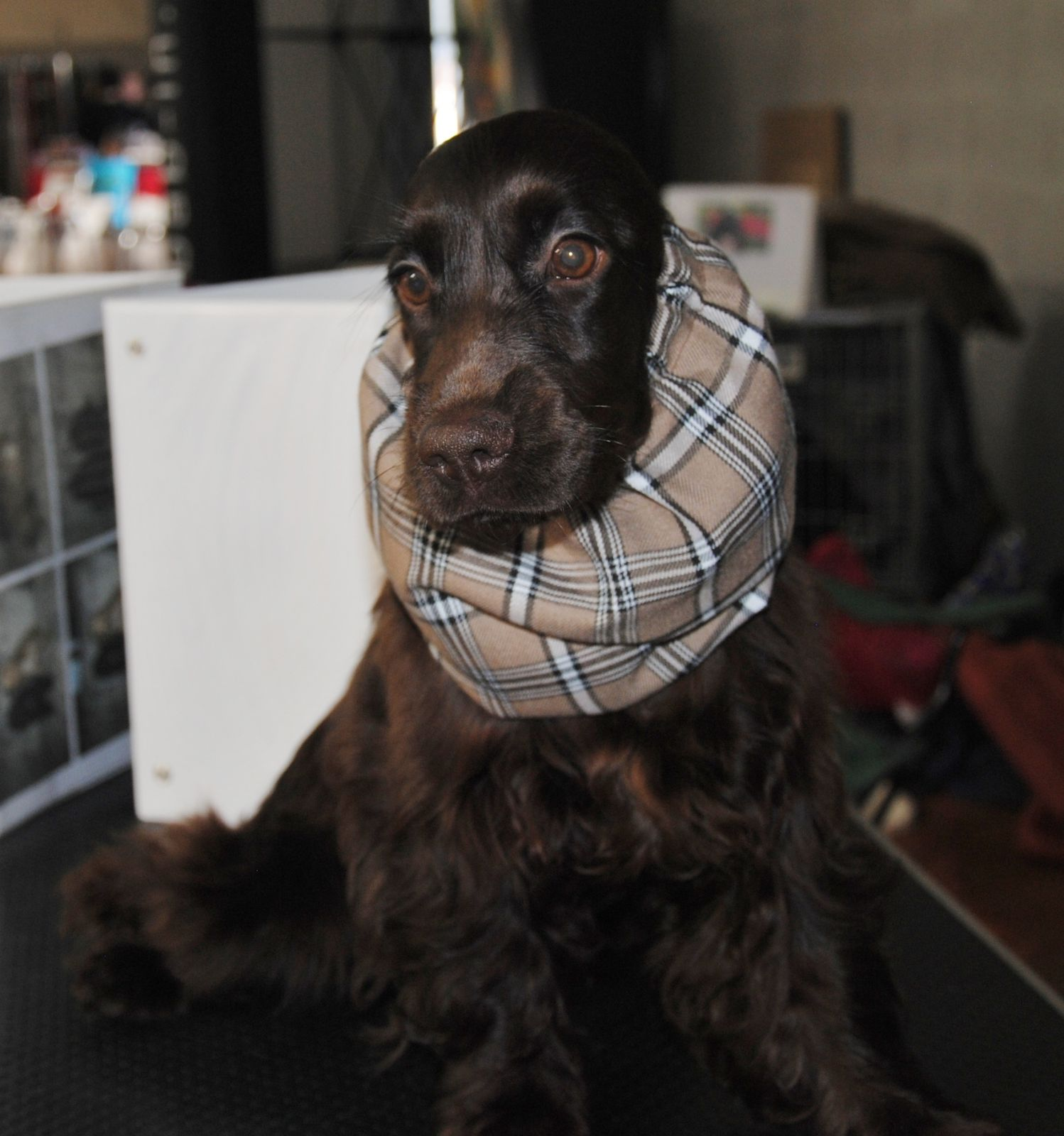 Une petite photo  d' Inaya lana à l'exposition de Castres, merci à Mr COMMES Christophe.
