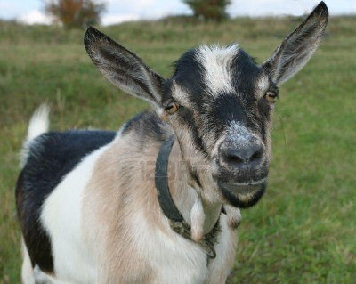 Les oreilles de Biquette à la recherche d'un peu de votre sagesse
